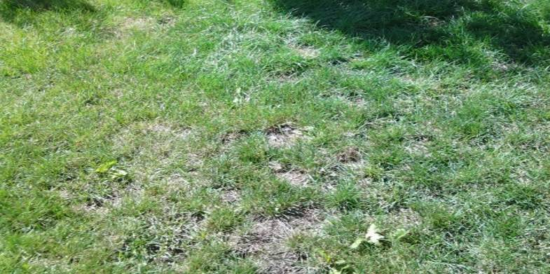 lawn needs overseeding Corvallis Albany Oregon